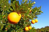 Florida Orange Groves Landscape