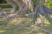 Hawaiian Banyan Tree.