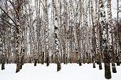 picture of birchwood  - bare birch trunks in urban park in winter - JPG