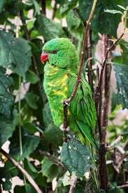 pic of lorikeets  - The Scaly-breasted lorikeet (Trichoglossus chlorolepidotus) is an Australian lorikeet found in woodland in eastern Australia. ** Note: Soft Focus at 100%, best at smaller sizes - JPG