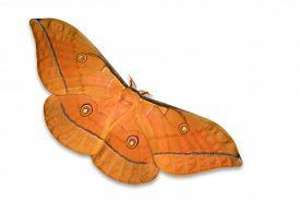 picture of moth  - Beautiful brown moth Frith - JPG