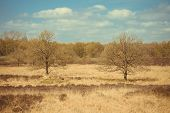 picture of ling  - Two trees in a field with flowering common heather  - JPG