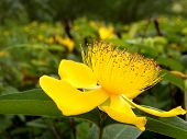 picture of rose sharon  - Close up of a Hypericum caylcyinum flower aka Rose of Sharon - JPG