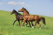 picture of wild horse running  - two horses run on the green field - JPG
