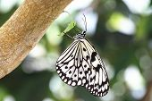 image of butterfly  - Large Tree Nymphs butterfly and green leaf,a beautiful butterfly on the green leaf in garden,Paper Kite butterfly,