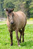 stock photo of pony  - closeup of pony in a greein field in Jeju Island Korea - JPG