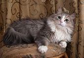 stock photo of stool  - Fluffy gray and white cat lies on stool on background of curtains - JPG