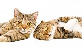 foto of scottish-fold  - Portrait of two cats Scottish Straight and Scottish Fold lying together isolated on white background - JPG