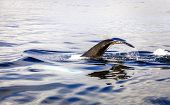 picture of whale-tail  - Diving humpback whale - JPG