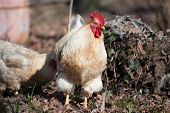 stock photo of roosters  - Portrait of a handsome white rooster clucking in the meadow - JPG