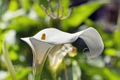 stock photo of calla  - Beautiful view of the nature - JPG
