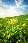 picture of cowslip  - cowslip flowers on the field at evening - JPG