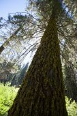 picture of sequoia-trees  - A tree in Sequoia National Park California - JPG