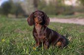 pic of dachshund  - dachshund chocolate puppy - JPG