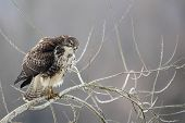 pic of buzzard  - Common Buzzard  - JPG