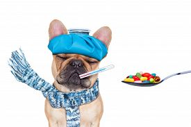 image of suffering  - french bulldog dog with headache and hangover with ice bag or ice pack on headthermometer in mouth with fever eyes closed suffering medication of pills in a spoon isolated on white background - JPG