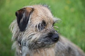 picture of border terrier  - female border terrier looking around in the grass - JPG
