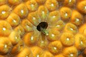 Secretary Blenny (Acanthemblemaria maria) hiding in a coral head