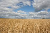Field Of Wheat And Cloud