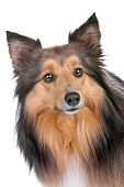 picture of sheltie  - Shetland Sheepdog sheltie isolated on a white background - JPG