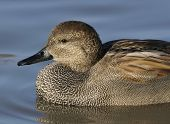 picture of gadwall  - Gadwall - Anas strepera