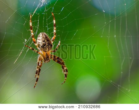 poster of Spider on spider web with green background. Closeup of a brown spider isolated on green background. Spider on the spiderweb with blur green background. Spider close-up on a green background.