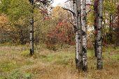 Birch In New Hampshire