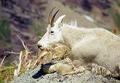 Cabra-montesa no calor do verão