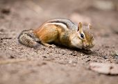 Chubby Cheeked Chipmunk