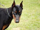 Scary doberman dog on a chain