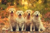 Beautiful Golden Retriever Dog In The Nature poster