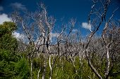 stock photo of promontory  - Dried trees at Wilsons Promontory National Park - JPG