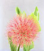 Powder Puff Lily