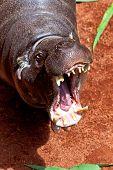 Hippopotamus Pigmy, Hexaprotodon Liberiensis