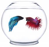 Red versus Blue Beta Fish
