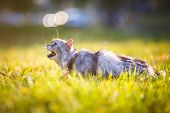 Fluffy Adult Gray Cat In Green Grass Hissing And Showing Displeasure poster