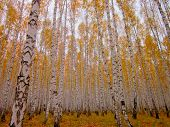 White Birches Autumn Dence Forest. Birch Trees With Orange Leaves & Fall Woods Foliage. Beautiful Bi poster
