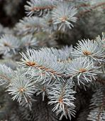 Evergreen Branches Of The Colorado Blue Spruce. poster