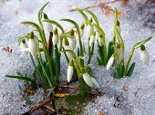 Snowdrops Blooming In Spring