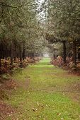 Long Path Through Pine Tree Forest In Autumn Fall