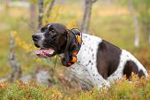 Dog English Pointer Hunting With Gps Tracker poster