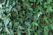 Closeup Shoot Of Hedera Helix, Common Ivy, English Ivy, European Ivy Evergreen Leaves Pattern On Hou poster