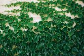 Hedera Helix, Common Ivy, English Ivy, European Ivy Evergreen Foliage On White Stone House Wall, Hor poster