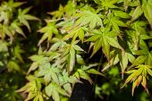 Green Maple Leaf., Three Maple Leaves Have Changed Color In Fall. poster