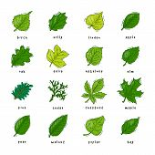 Leaf Green Leaves Of Trees Leafed Oak And Leafy Maple Or Leafing Foliage Illustration Of Leafage In  poster