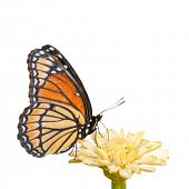 Colorful Viceroy butterfly feeding on a pale yellow Zinnia on white background