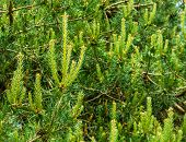 Closeup Of A Conifer Tree With Small Pine Cones, Popular Evergreen Tree, Nature Background poster