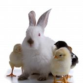 Rabbit And Chickens