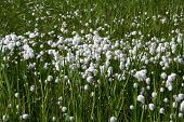 Most Cotton Grass Meadow.