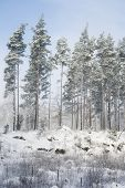 Snow Covered Trees With Blue Sky